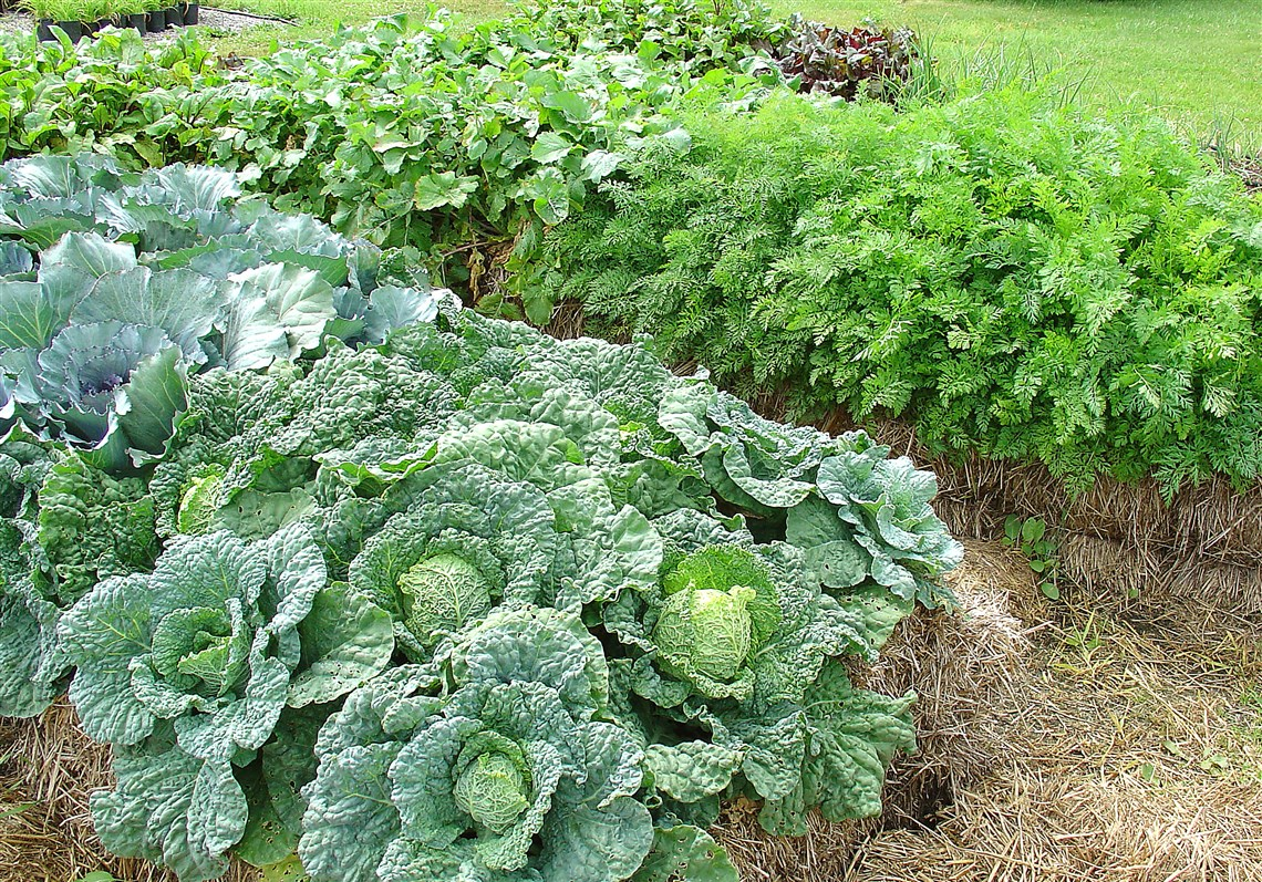 Cabbage Thrives In Straw Bales.