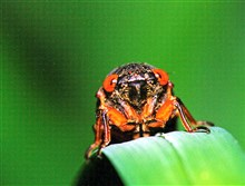 "This year's 'brood"" — Brood V — of cicadas was last above ground, in 1999."