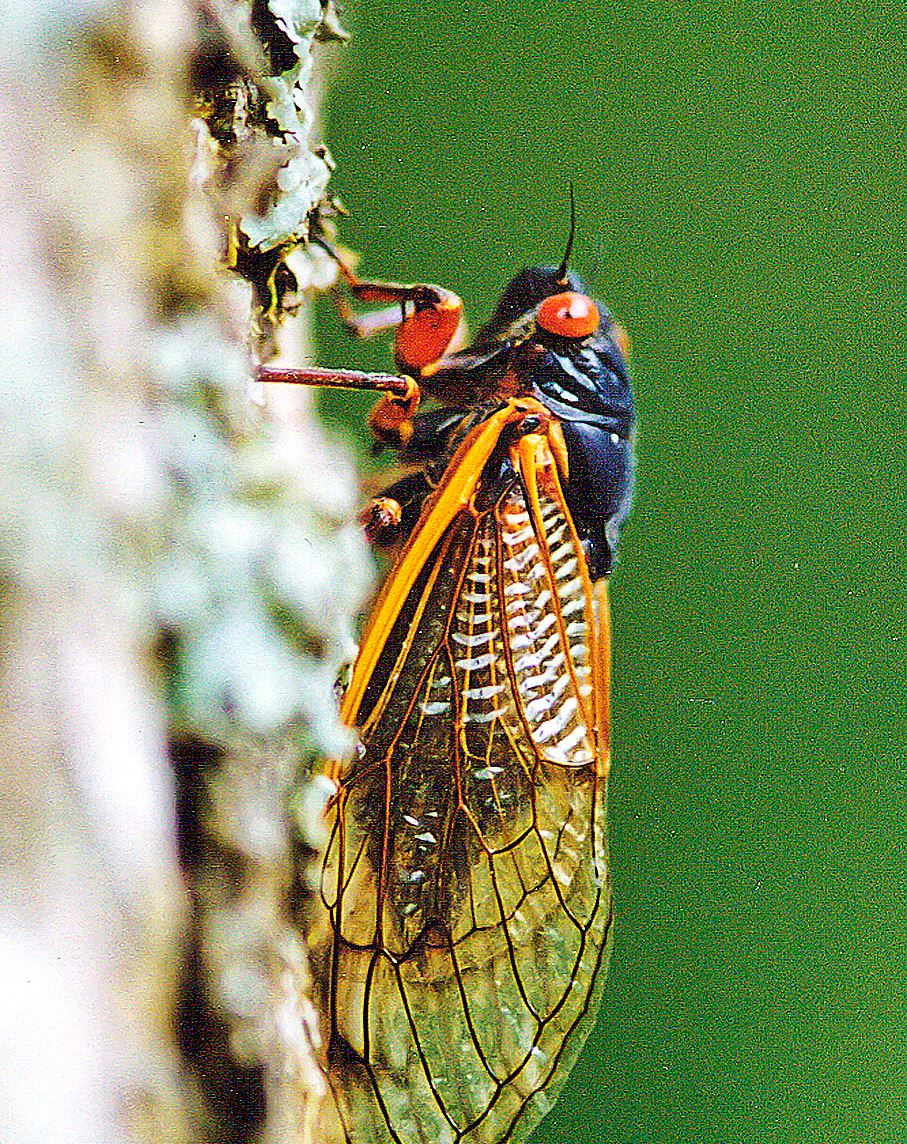 how to get rid of cicadas in trees