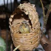 A green singing finch fledgling at the National Aviary.