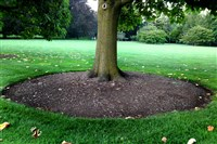 A tree that has been properly mulched, leaving the root flare at the base exposed.