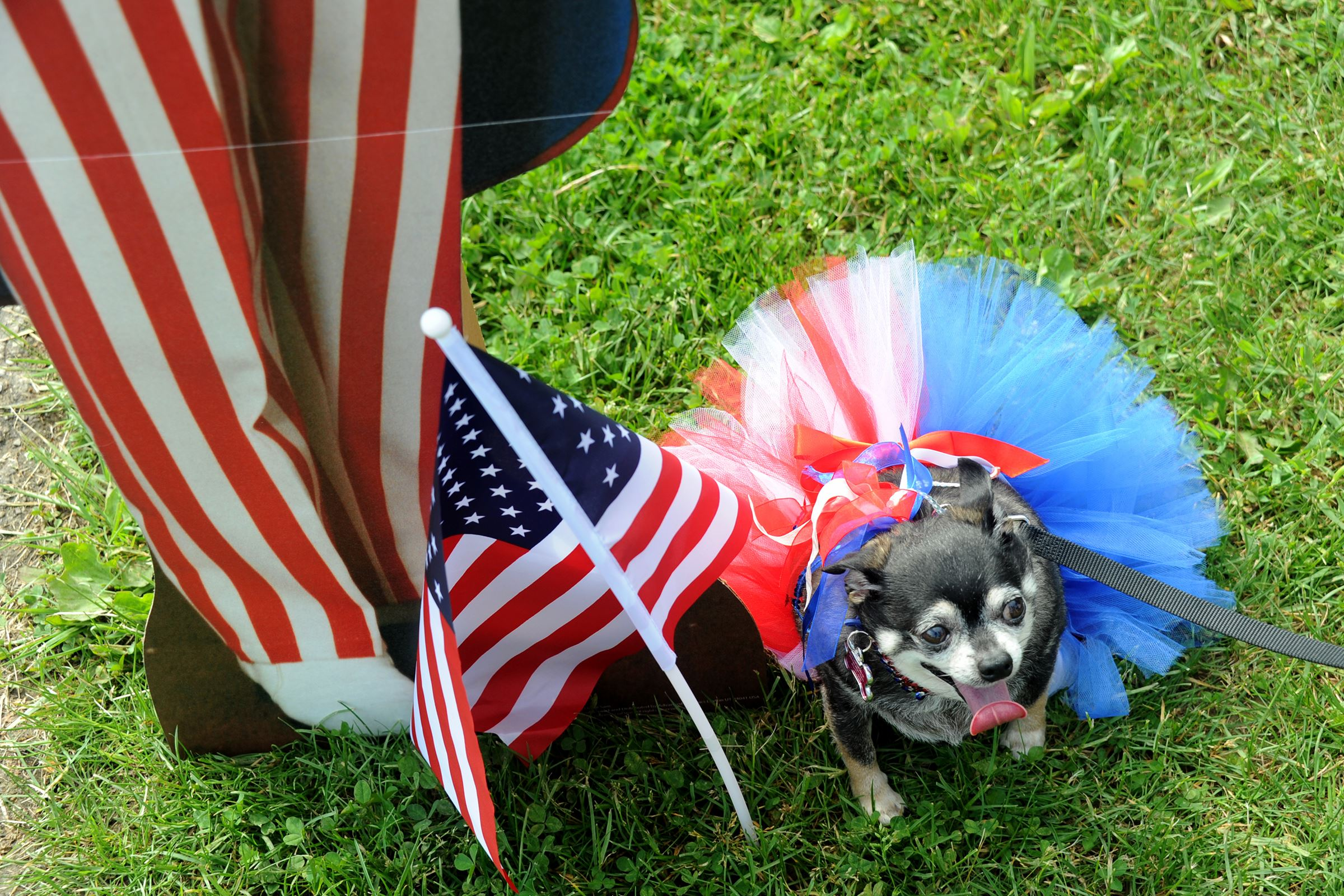 20160528lf-Dogs02-1 Ricki, a 10-year-old Chihuahua adopted by Jackie Schultz of Brookline, shows his patriotic color at the annual Animal Friends Patriotic Pup Parade in North Park on Saturday.