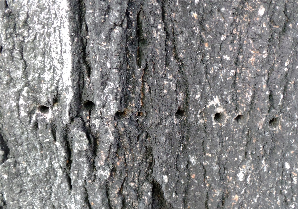 Sapsucker The Likely Culprit For Holes In Maple Tree Pittsburgh - Norway maple bark