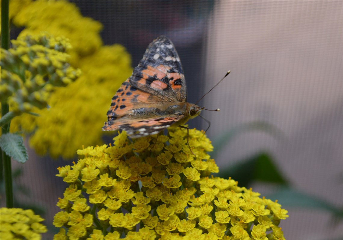A Painted Lady, One Of The Butterflies In The National Aviaryu0027s Butterfly  Garden Exhibit.