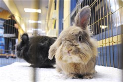Bert, a lionhead rabbit, in his pen Saturday with Ernie at the Western Pennsylvania Humane Society on the North Side.