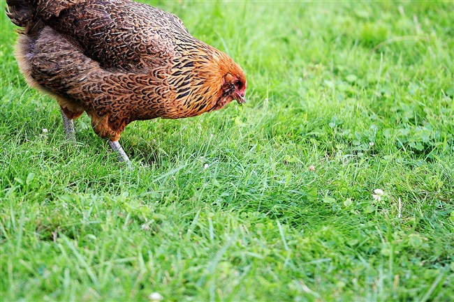 A chicken searches for worms in a backyard in Laurel Gardens. The University of Pennsylvania School of Veterinary Medicine offers information to help chicken keepers and the families stay health.