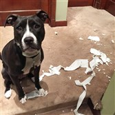 Bella the pit bull decorates with toilet paper when Bryan Henn of Brookline isn't home.
