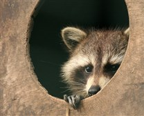 Fifth raccoon tests positive for rabies.