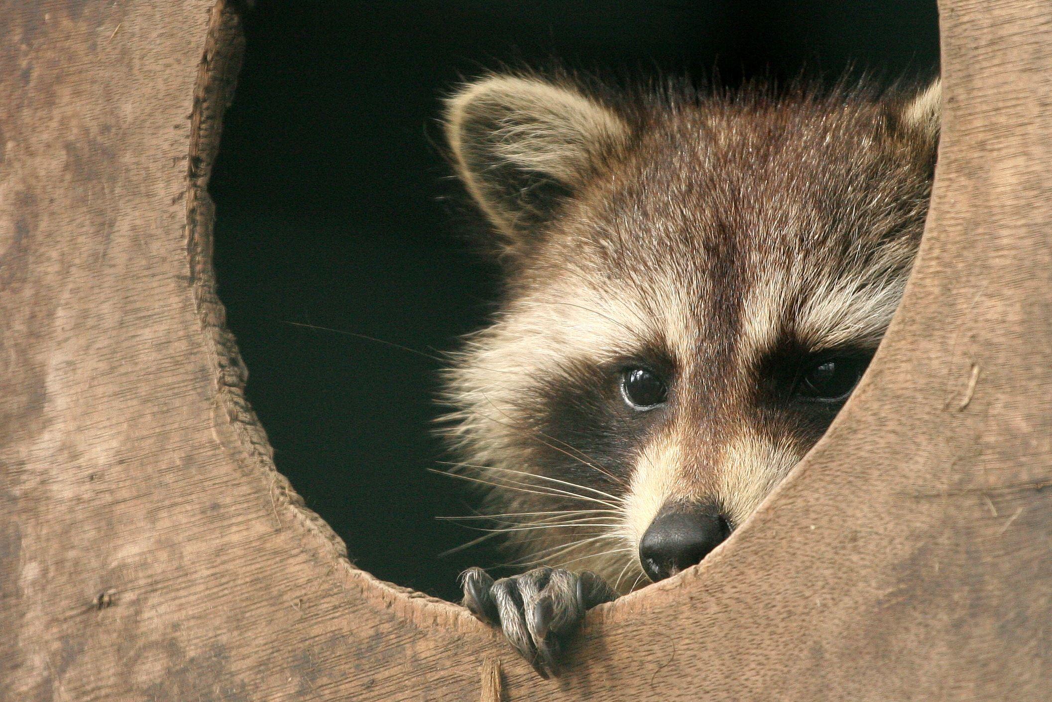 Rabid raccoon found in Millvale | Pittsburgh Post-Gazette Raccoon With Rabies