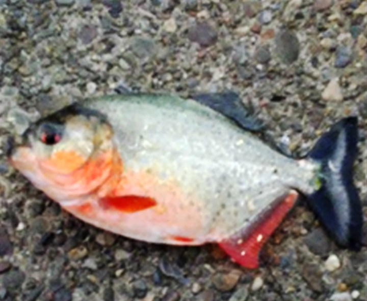 Anglers pull piranha from north park lake pittsburgh for Fishing in pittsburgh