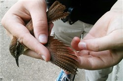Becca Ralston, a Nestwatch intern, measures feathers and inspects a Carolina wren for fat before banding.
