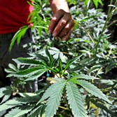 This May 11 file photo shows marijuana plants at a home near Green Springs, Ore.