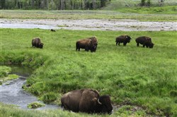 In this June 19, 2014, file photo, bison graze near a stream in Yellowstone National Park in Wyoming..