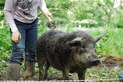 Andrea Heim, farm manager at Spice Acres, grooms a Mangalitsa breeding sow named Curletta in Cuyahoga Valley National Park in Ohio. Spice Acres is part of the National Park Service's Countryside Initiative to preserve farmland in Cuyahoga Valley through sustainable practices.