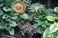 """Chocolate Shogun"" astilbe is in the center, flanked by brunnera on the left and variegated hosta on the right."