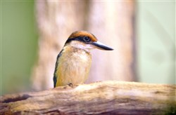 A Guam kingfisher chick perches on a branch Thursday at the National Aviary on the North Side.