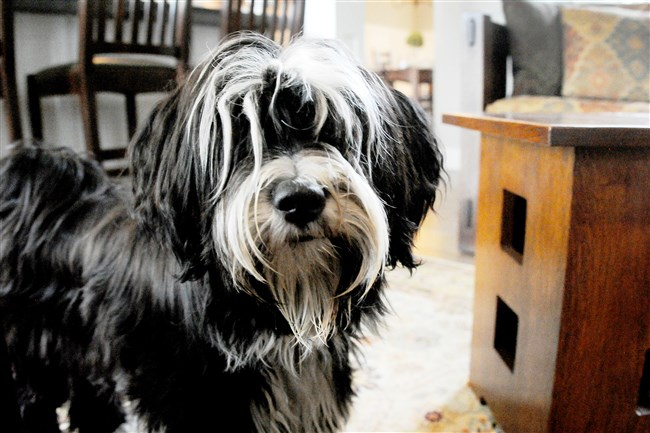 Ludmilla, owned by Ilona Segedy of Pine, won second place in Nationwide's Hambone Awards for the most unusual pet insurance claim. The Tibetan terrier got her head stuck in the coffee table at right.