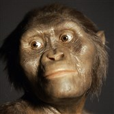Three-dimensional model of the early human ancestor, Australopithecus afarensis, known as Lucy, on display at the Houston Museum of Natural Science.