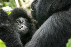 In this 2008 photo, a baby gorilla is held by an adult in the Virunga National Park, near the Uganda border in eastern Congo. The eastern gorilla has been listed as critically endangered, making four of the six great ape species only one step away from extinction, according to the International Union for the Conservation of Nature's Red List of Endangered Species.
