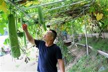 Wei Fei Chen prunes luffa vine in the tunnel he built in his backyard.