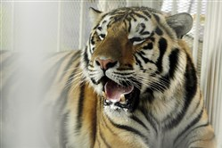 Mike, LSU's live tiger mascot, has been given a grim prognosis after a rare form of cancer has spread through his body.
