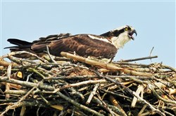 "The osprey -- the fish-eating ""river hawk"" -- is back in abundance in Pennsylvania."