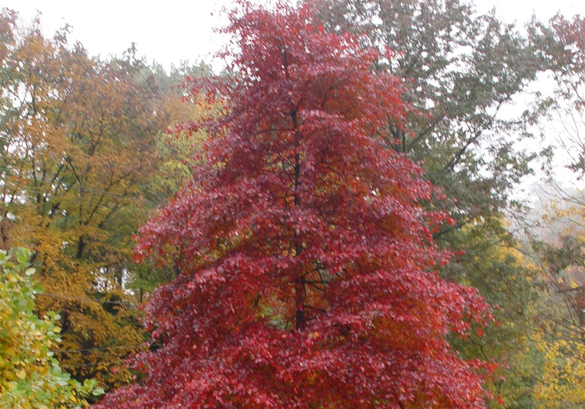 Shrubs to plant in fall - The Black Gum Tree Nyssa Sylvatica Has Exceptional Fall Color