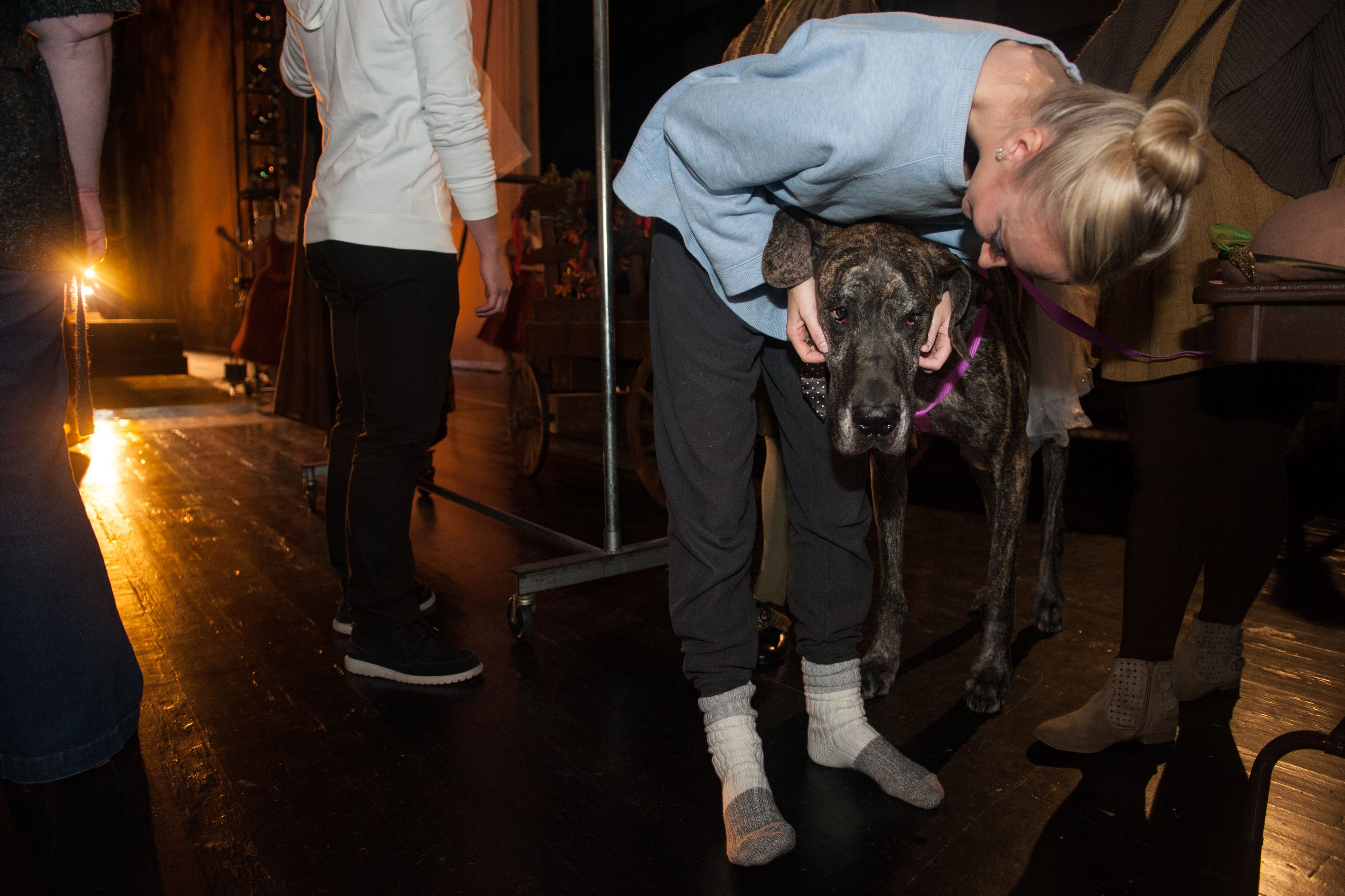 "20161029smsGreatDane04-3 Pittsburgh Ballet Theatre dancer Hannah Carter pets Ellie Mae backstage at the Benedum during a rehearsal of ""Giselle."" The Great Dane plays a dog in a woodland scene with a royal hunting party in the ballet."