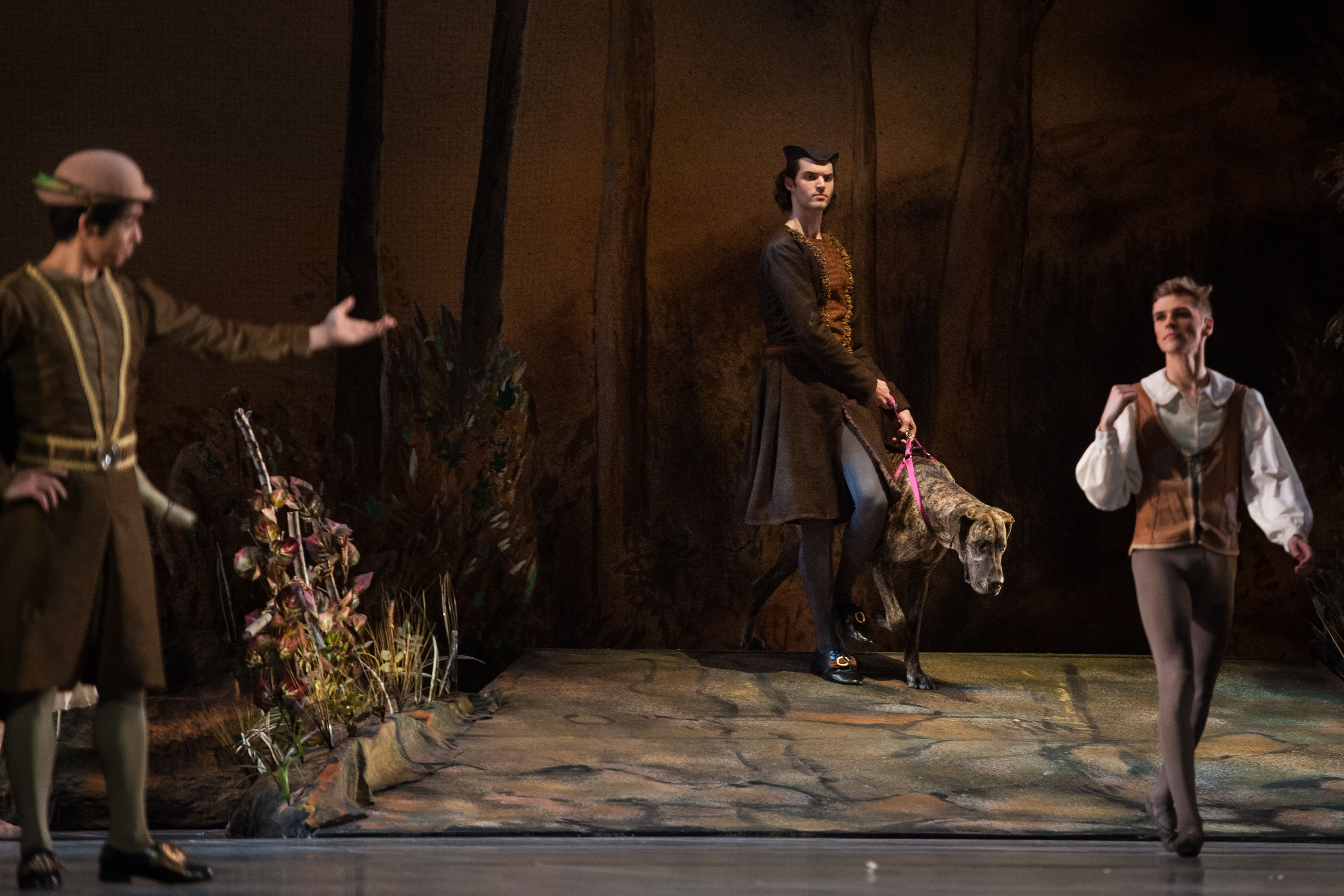 "20161029smsGreatDane05-4 Pittsburgh Ballet Theatre dancer Jack Hawn, center, leads Great Dane Ellie Mae during their shared scene in ""Giselle."""