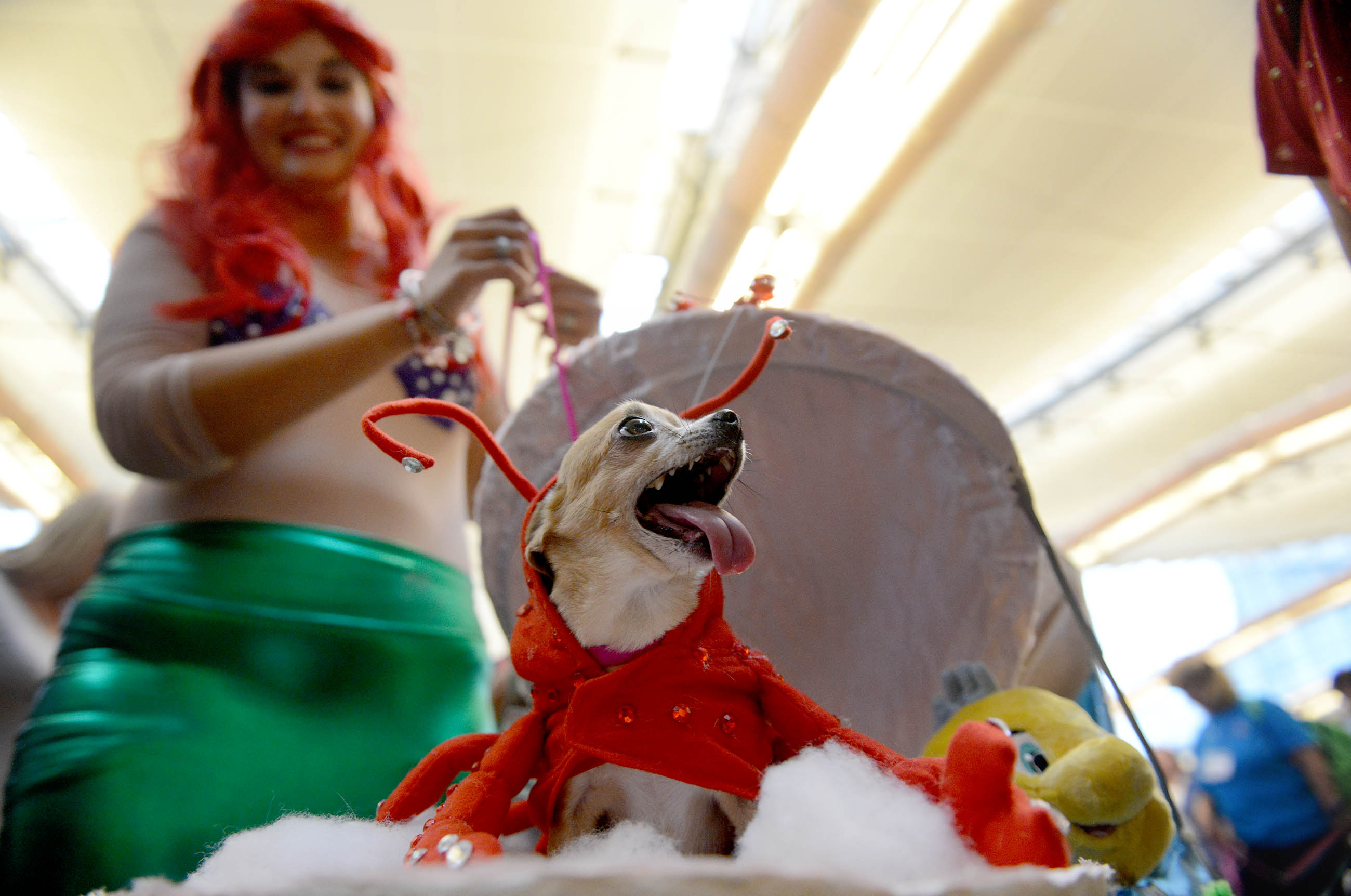 """20161030MWHdogcostumesLocal01 Roxy, a Chihuahua dressed as Sebastian the crab from """"Little Mermaid,"""" waits in line with his owner, Carmella Smith of West Mifflin, for the costume contest at the Pittsburgh Pet Expo in 2016."""
