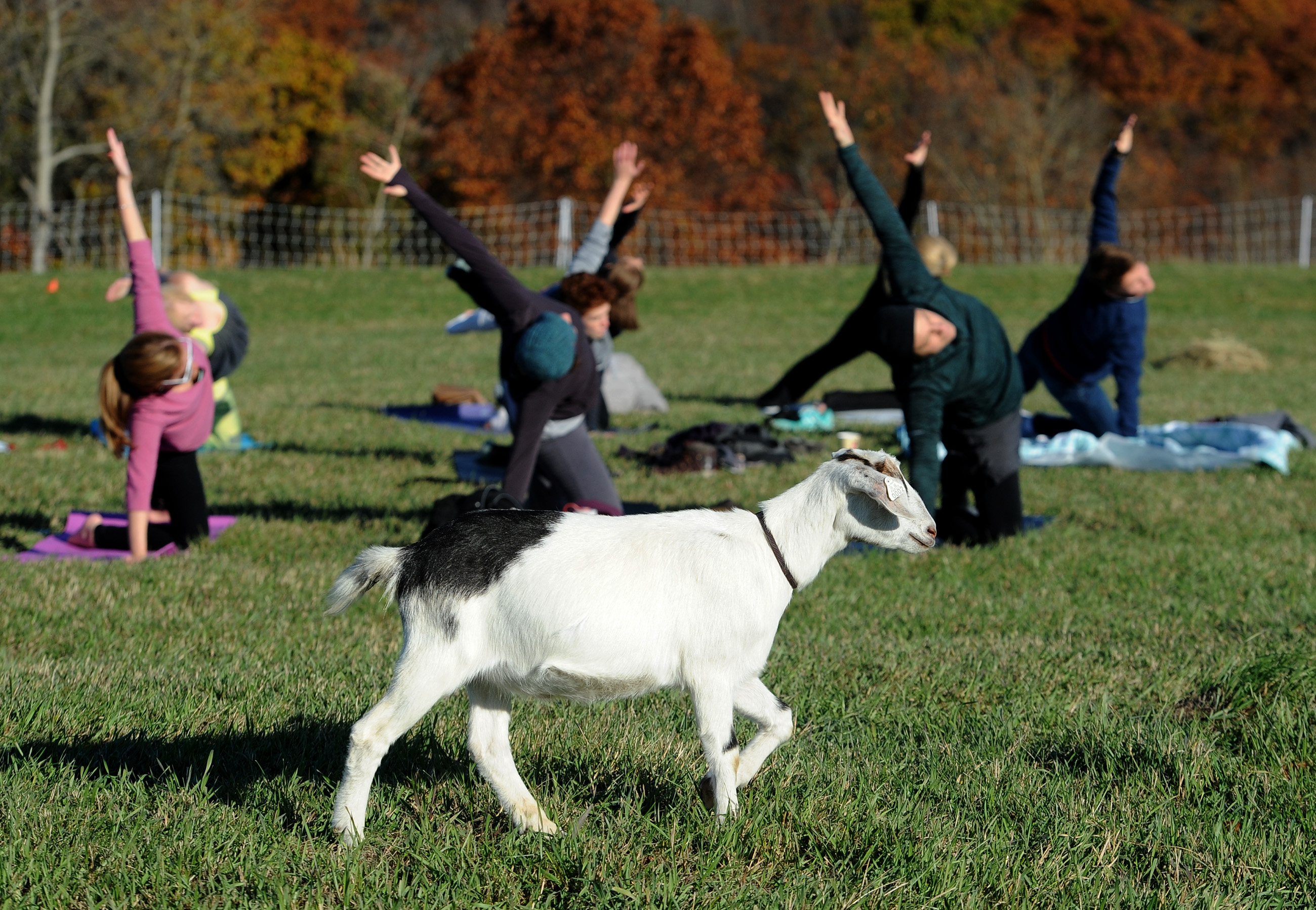 20161112ppNamasHayYoga3MAG-2 Pam Panchak/Post-Gazette 11122016 PHOTOSLUG: NasmasHayYoga SECTION: Mag CAPTION: A goat wanders in front of group during a yoga session at the NamasHay Goat Yoga fundraiser for the Western Pa. Humane Society at Have U Heard goat farm in Collier Twp. Thursday, November 12, 2016.