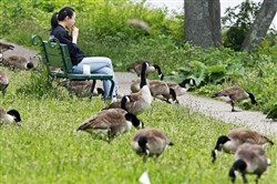 A gaggle of Canada geese feeds along the banks of the Charles River in Cambridge, Mass. A single goose produces up to three pounds of poop every day.