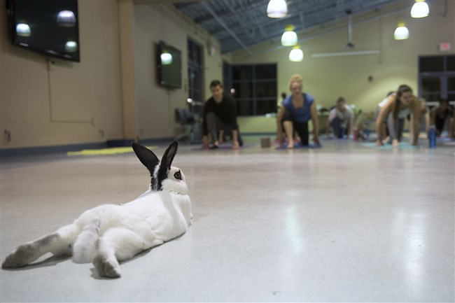 A rabbit stretches at a safe distance from human participants at a Bunny Yoga class at Animal Friends in Ohio Township.