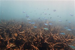 In an undated handout photo, a field of staghorn coral this month killed by bleaching on Bourke Reef, a part of the 430-mile northern section of the Great Barrier Reef. Scientists surveying the Great Barrier Reef said on Nov. 29, 2016,  that it had suffered the worst coral die-off ever recorded after being bathed this year in warm waters that bleached and then weakened the coral. (Greg Torda/ARC Center of Excellence for Coral Reef Studies via The New York Times) -- NO SALES; FOR EDITORIAL USE ONLY WITH REEF CORAL DIEOFF BY MICHELLE INNIS FOR NOV. 30, 2016. ALL OTHER USE PROHIBITED. --