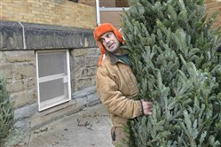Mike Harris, hauls a fraser fir to the fence at Jancey Street Trees in Morningside.