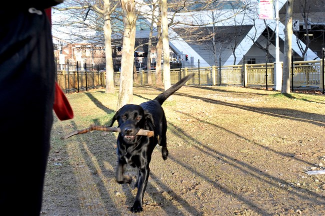 Bruin, 2, who lives Downtown with his owner, enjoys a game of fetch in the new dog area.