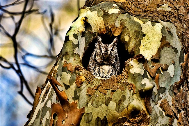 Robert Mulvihill, ornithologist at the National Aviary will lead the Owl Prowl on Jan. 18, where participants hope to see owls like this -- the gray phase eastern screech owl.