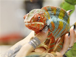 A panther chameleon climbs onto Amber Jordan from Penn Hills last month at the Pittsburgh Reptile Show & Sale at the Harmar House in Harmar.