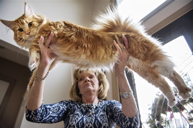 Alice Schepp holds up Emma, her Maine Coon kitten, who will be competing in the Steel City Kitties show in Monroeville next weekend.