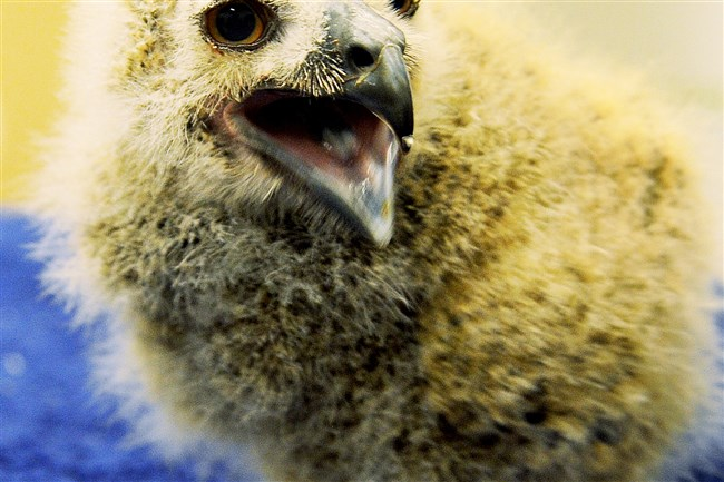 A 17-day-old Eurasian Owl is introduced to the media at the National Aviary on Wednesday.