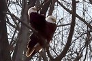 Two eagles rest on a branch after a wind storm blew over their nest and tree in Hays on Feb. 13. A week later, observers say the pair may have a third egg in newly built nest.