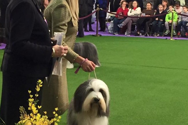 Grand Champion Dunhill Steeler Nation (aka Zack) winning Best of Breed at Westminster Kennel Club Dog Show on Monday. e is owned by Ray and Kathy Harrington of Peters. Pictured are the American Kennel Club judge and the professional handler.