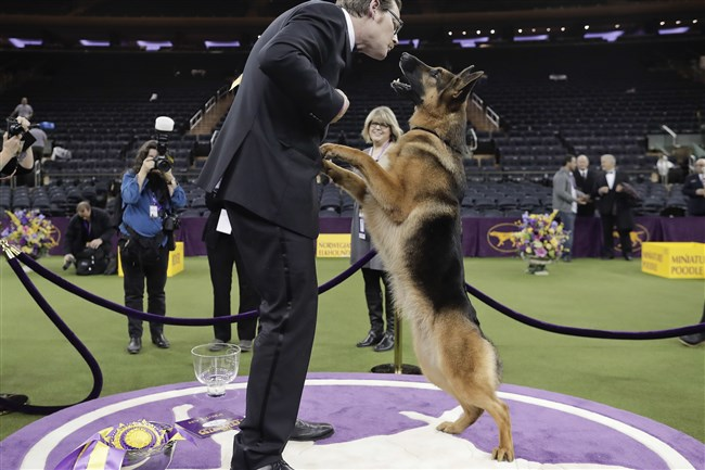Rumor, a German shepherd, leaps to lick her handler and co-owner Kent Boyles on the face after winning Best in Show at the 141st Westminster Kennel Club Dog Show, early today in New York City.