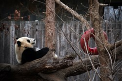 Giant panda Bao Bao sits in her outdoor habitat at the Smithsonian's National Zoo on Tuesday in Washington, D.C.