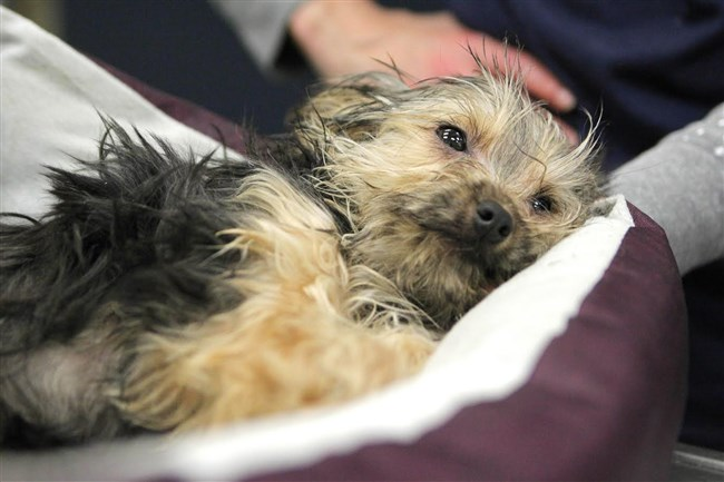 Laney the Yorkshire Terrier lays on a bed as she is tended to by staff at the Animal Rescue League/Western Pa. Humane Society shelter in the North Side.