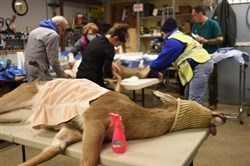 Behind the scenes with Ann Arbor's deer sterilization crew in a maintenance shed at Huron Hills Golf Course that served as a makeshift operating room.