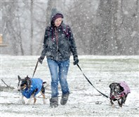 Braving the cold temperatures and snow, Alysa Veres of Point Breeze, walks her two English Bull Terriers, Peanut and Nugget, in Highland Park on Tuesday.