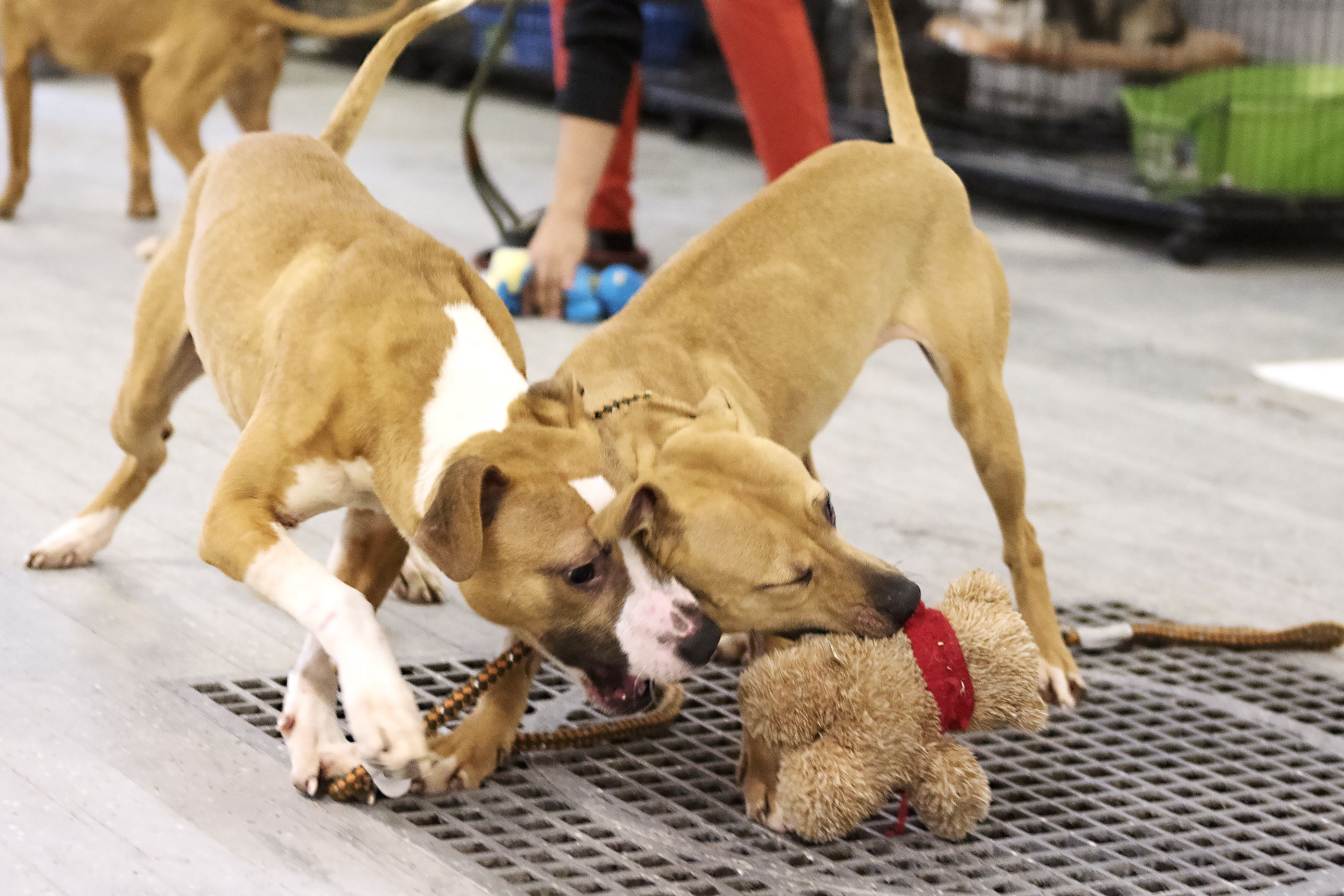 20170315hnpettales0318-5-4 Ten-month-old pit bull puppies Garfield, left, and Lady play with a toy at the Gaydos-Behanna Kennel. Garfield and Lady are from the same litter as Red, who was shipped off to Washington state where she will be trained and certified as a detection dog to track down drugs.