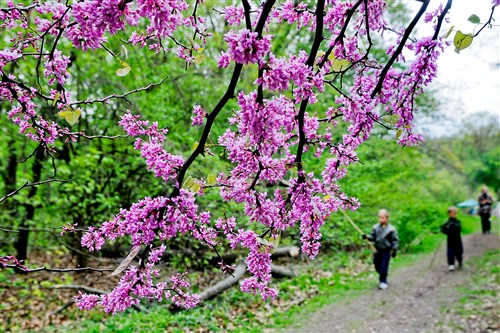 Eastern redbuds line a trail at Frick Environmental Center in Squirrel Hill. More of the flowering trees will be seen along Downtown Pittsburgh's riverfronts, thanks for the Redbud Project.
