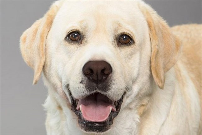 Labrador retrievers topped the American Kennel Club's new rankings for a 26th straight year.